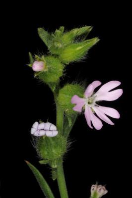 ציפורנית משוננת Silene tridentata Desf.