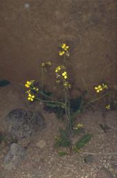 צמח זקוף בעל פרחים גדולים צהובים חוורים, פירות דקים ישרים ועלים משוננים שרובם בבסיס הצמח