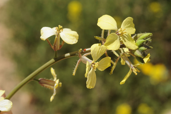 תודרה נאה Sisymbrium septulatum DC.
