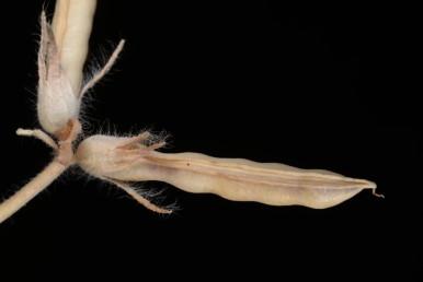 התרמיל ארוך וצר, חסר כנפיים, בעל שתי בליטות לא גלוניות לאורך התפרים