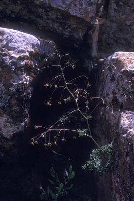 דק-נוף צהבהב Thalictrum isopyroides C.A.Mey.