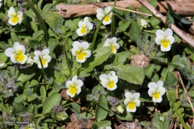 צמח חד-שנתי קטן ושעיר, השעירות בולטת בעיקר בגביע הפרח