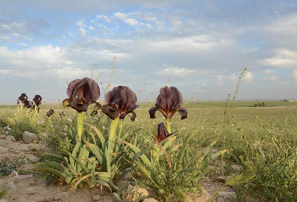 Iris atrofusca Baker