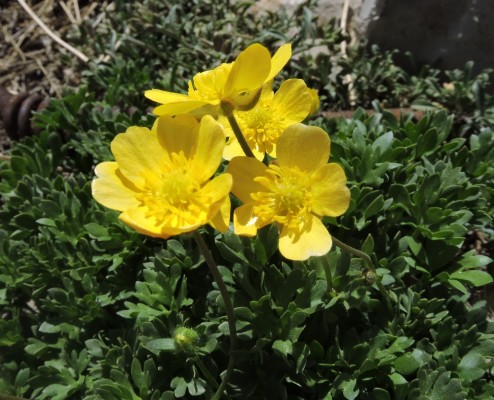 נורית השלג Ranunculus demissus DC.