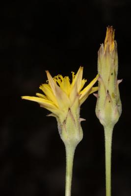 הרדופנין מנוצה Podospermum alpigenum K. Koch