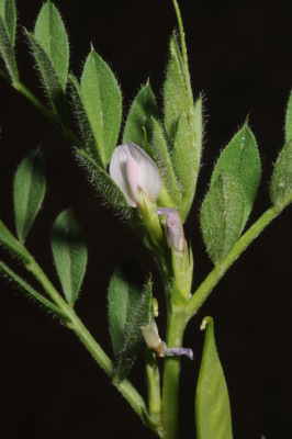 בקיה טופחנית Vicia lathyroides L.