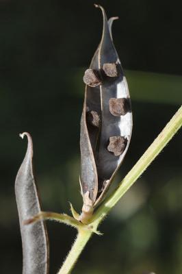 בקיה טופחנית Vicia lathyroides L.