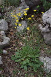צמח עשבוני רב-שנתי בעל שושנת עלים, אונות העלים מחודדות, חפי המעטפת בתפרחת קרחים