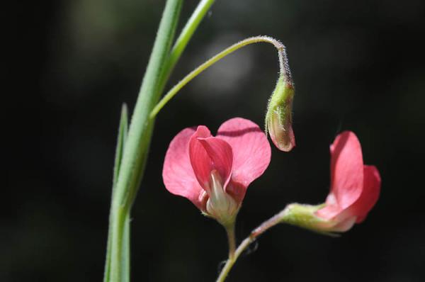 טופח עדין Lathyrus nissolia L.
