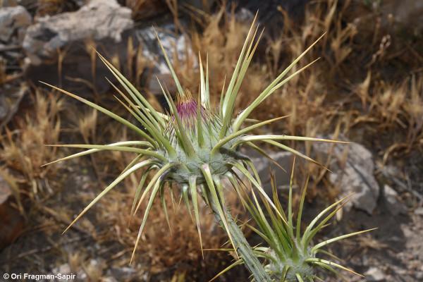 חוחן שונה-קוצים Onopordum anisacanthum Boiss.