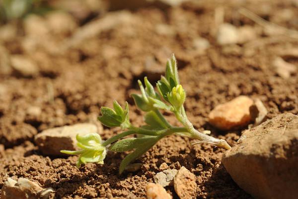 Ranunculus pinardii (Steven) Boiss.