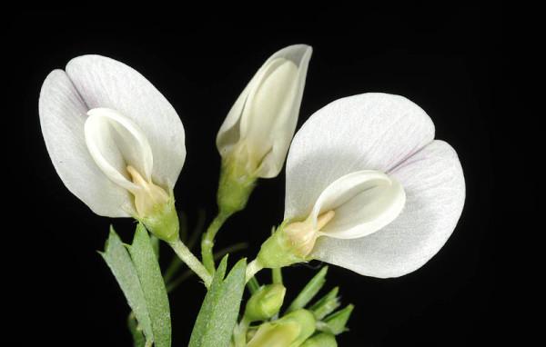 בקיית הבזלת Vicia basaltica Plitmann