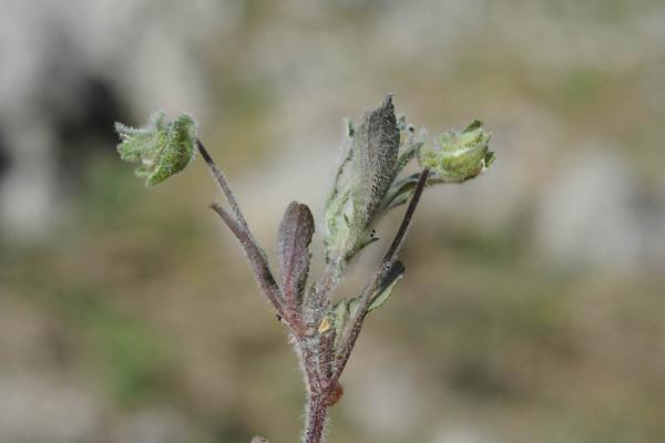 סיגל קטן Viola parvula Tineo
