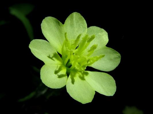 נר-הלילה המפוצל Oenothera laciniata Hill