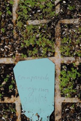 פעמונית הדורה Campanula peregrina L.