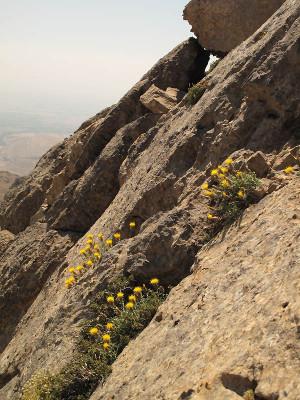 דרדר הלבנון Centaurea drabifolia Sibth. & Sm.