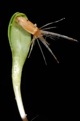 דרדר החרחבינה Centaurea eryngioides Lam.
