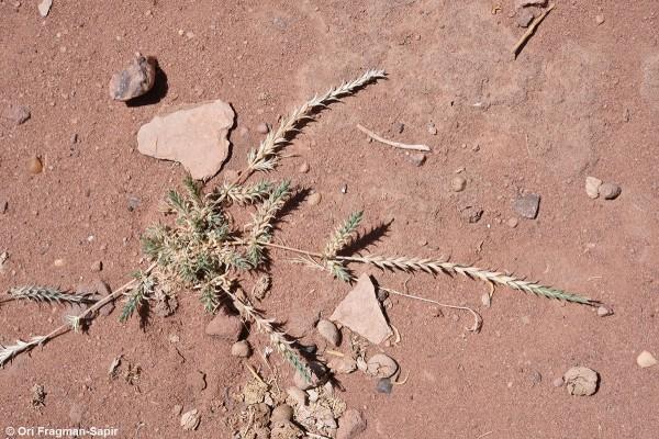צלבית קרומית Crucianella membranacea Boiss.