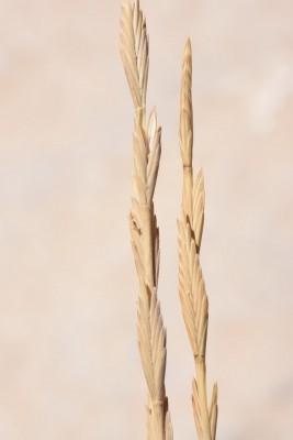 Elytrigia elongata (Host) Nevski