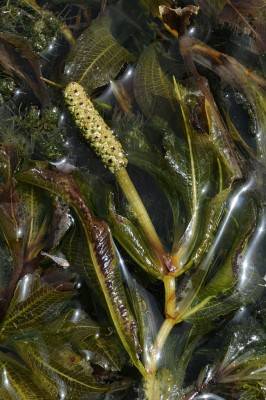 נהרונית שקופה Potamogeton lucens L.
