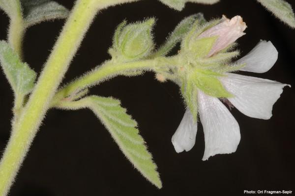 Althaea officinalis L.