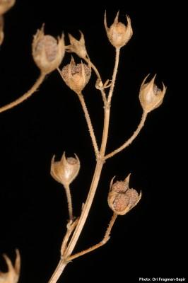 געדה קיפחת Teucrium procerum Boiss. & Blanch