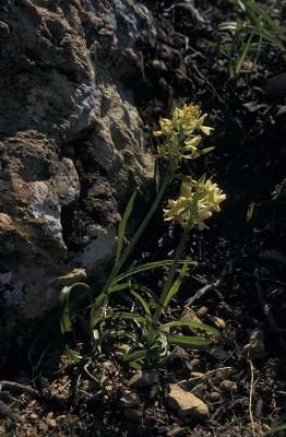 אצבעית רומאית Dactylorhiza romana (Sebast. & Mauri) Soo.