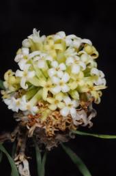 הפרחים לבנים ומשנים את צבעם לקרם