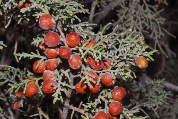 ערער אדום Juniperus turbinata Guss.