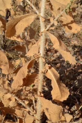 חסה שיכנית Lactuca aculeata Boiss.