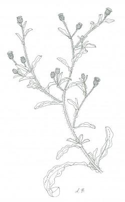 פרעושית טיונית Pulicaria inuloides (Poir.) DC.