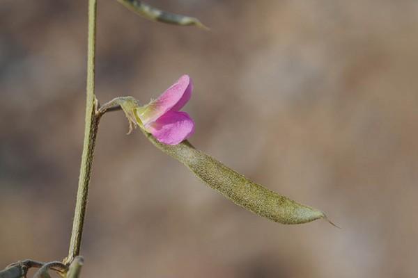 טפרוסיה נאה Tephrosia apollinea (Delile) Link