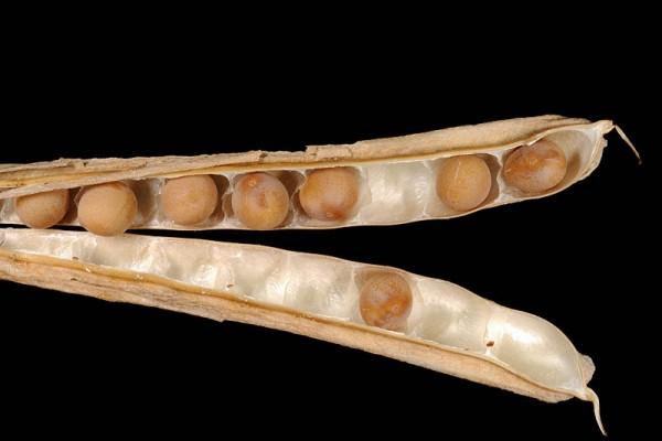 ארבע-כנפות מצויות Tetragonolobus palaestinus Boiss.& Blanche