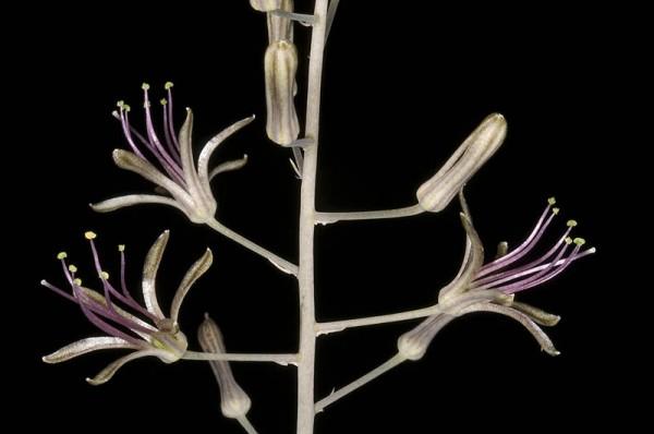 חצב גלוני Drimia undata Stearn