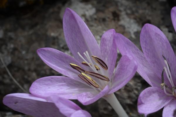 סתוונית התשבץ Colchicum feinbruniae Persson