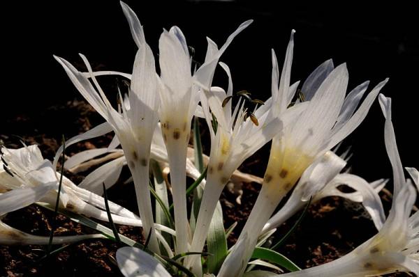 סתוונית טוביה Colchicum tuviae Feinbrun
