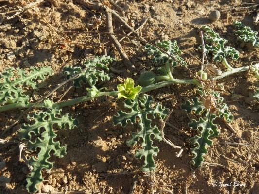 אבטיח הפקועה Citrullus colocynthis (L.) Schrad.