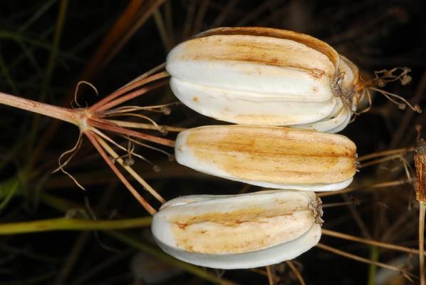 שעמון מצולע Prangos ferulacea (L.) Lindl.