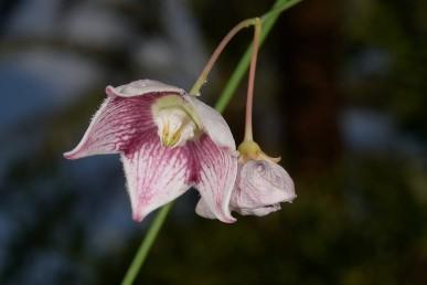 העטרה במרכז הפרח עשויה 5 אונות נפוחות בבסיסן ודקות כלפי ראשן