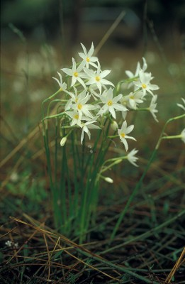 Narcissus obsoletus (Haw.) Spach