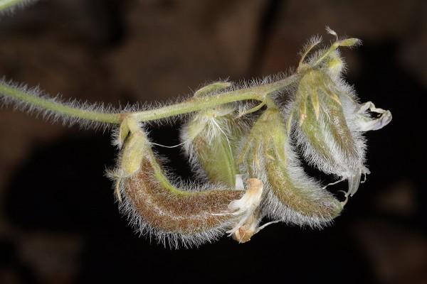 Astragalus bombycinus Boiss.