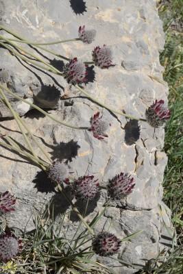 קדד מפורץ Astragalus emarginatus Labill.