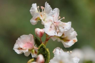 בפרח יש 5 עלי עטיף ו-8 באבקנים