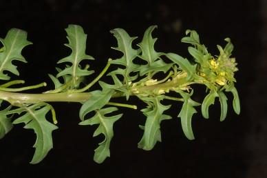 צמחים חד-שנתיים שרועים. הפרחים והפירות בודדים בחיקי עלים/חפים. הפירות כפופים