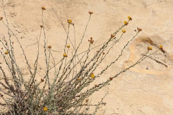 פיגמית הסלע Haplophyllum poorei C.C.Towns.