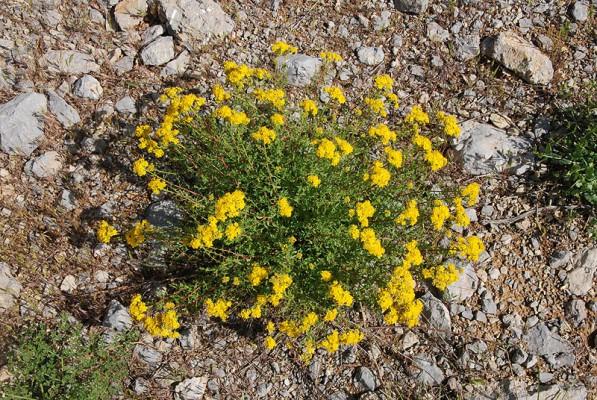 פרע מחוספס Hypericum scabrum L.