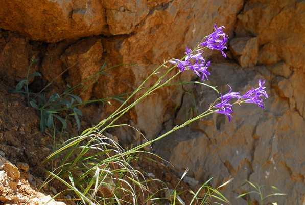 כחלית ההרים Ixiolirion tataricum (Pall.) Herbert