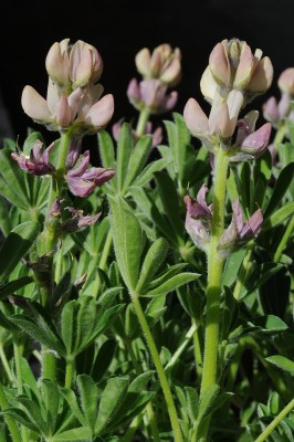 תורמוס ספרדי Lupinus hispanicus Boiss. & Reut.