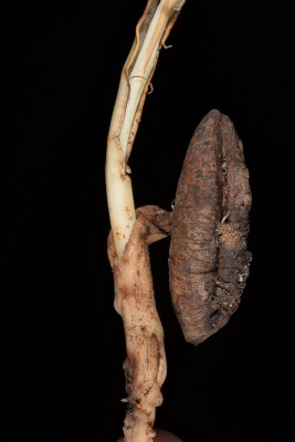 תמר מצוי Phoenix dactylifera L.