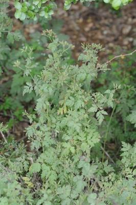 מפריק נפוח Physocaulis nodosus (L.) Tausch